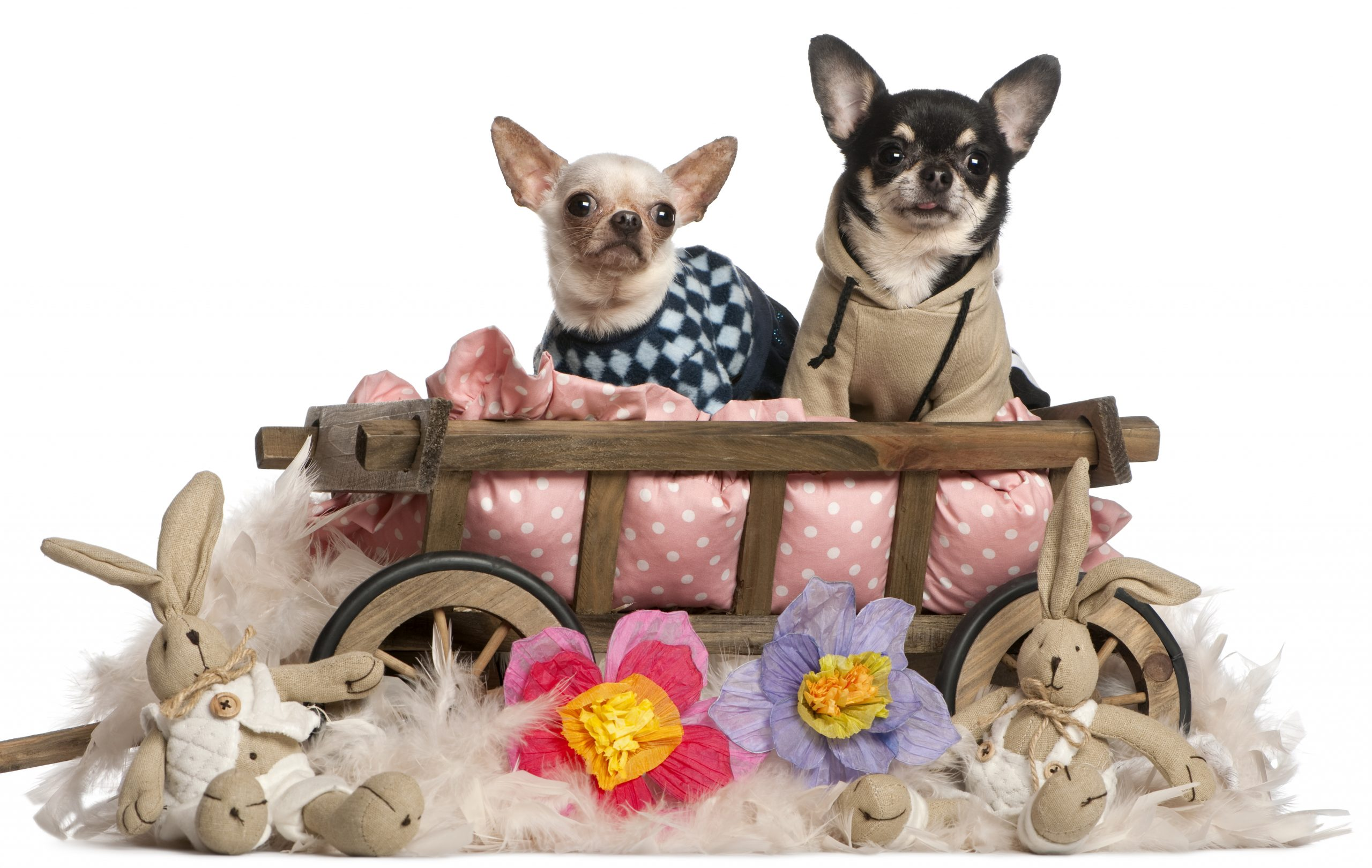 Chihuahuas sitting in dog bed wagon with stuffed animals in front of white background